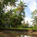 Bedulu forest and ricefield
